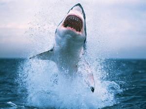 squalo_bianco_salto
